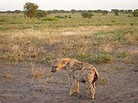 spotted hyena, Crocuta crocuta, adult in Serengeti National Park, Tanzania, Africa