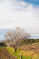 View over the vineyard in spring, vines in Cordon Royat training with an almond tree in bloom blossom Domaine de la Tour du Bon Le Castellet Bandol Var Cote d'Azur France