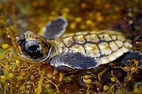 Loggerhead sea turtle (Caretta caretta) hatchling in Sargassum weed, Florida (c)