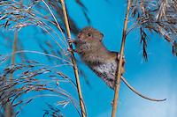 Zwergmaus - Harvest mouse