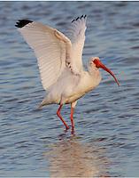 Adult white ibis