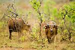Forest Buffalo (Syncerus caffer nanus) bulls in savanna, Lope National Park, Gabon