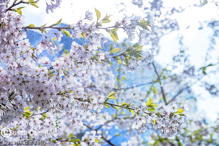 Flowering cherry trees along the Rose Kennedy Greenway, Boston, Massachusetts, USA