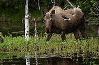 Moose, Southcentral Alaska.