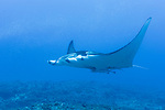 Rangiroa Atoll, Tuamotu Archipelago, French Polynesia; a manta ray swimming into a swift current through Tiputa Pass
