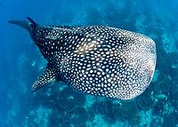 whale shark, Rhincodon typus, Maldives, Indian Ocean