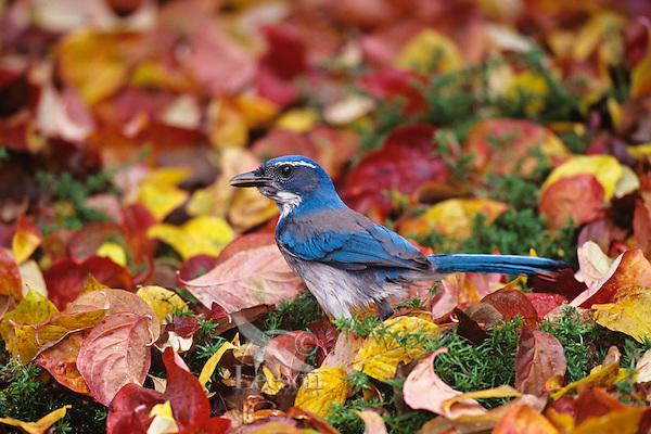 Western scrub-jay (Aphelocoma californica) among fall leaves.  Pacific Northwest.
