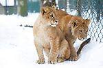 Foto: VidiPhoto<br /> <br /> ARNHEM – Gezinsuitje in de sneeuw.Verbaasd en wat onwennig bewegen de leeuwenwelpen van Burgers' Zoo in Arnhem zich woensdag door de sneeuw. Terwijl de meeste dieren van het park zich in hun warme verblijf bevinden vanwege de strenge nachtvorst en gladde ondergrond, mag de leeuwenfamilie naar buiten. De welpen zien voor het eerst van hun leven sneeuw. Koud en nat en daar zijn katten niet zo dol op. 's Nachts kruipen ze daarom dicht tegen hun moeder aan in hun overdekte hol op de Safari van de Arnhemse dierentuin.