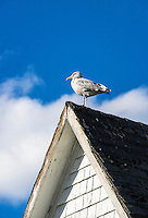 Seagull perched on a rustic roof, Maine, USA