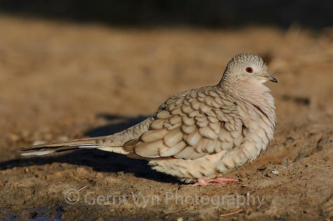 Adult female Inca Dove (Columbina inca). Hidalgo County, Texas. March.