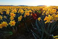 Sun rising over field of yellow dafodils, Skagit Valley, Mount Vernon, Skagit County, Washington, USA