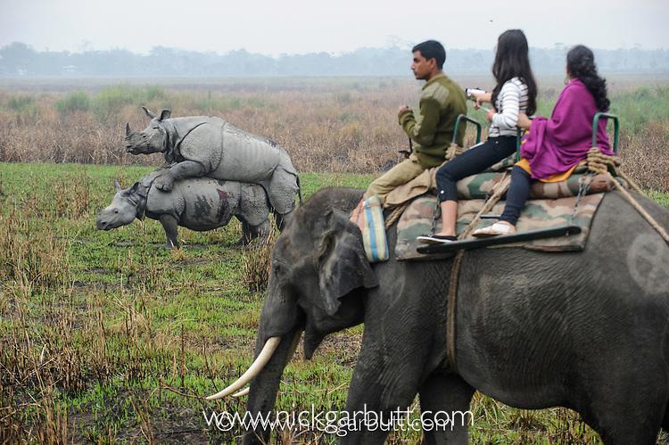 Tourists watching male and female Great One-horned Rhinoceros (Rhinoceros unicornis) mating. Kaziranga National Park, Assam, India.