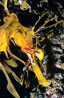 leafy Sea dragon, Phycodurus eques, Edithburgh, South Australia, Southern Ocean