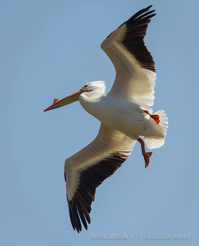 American White Pelican flying in