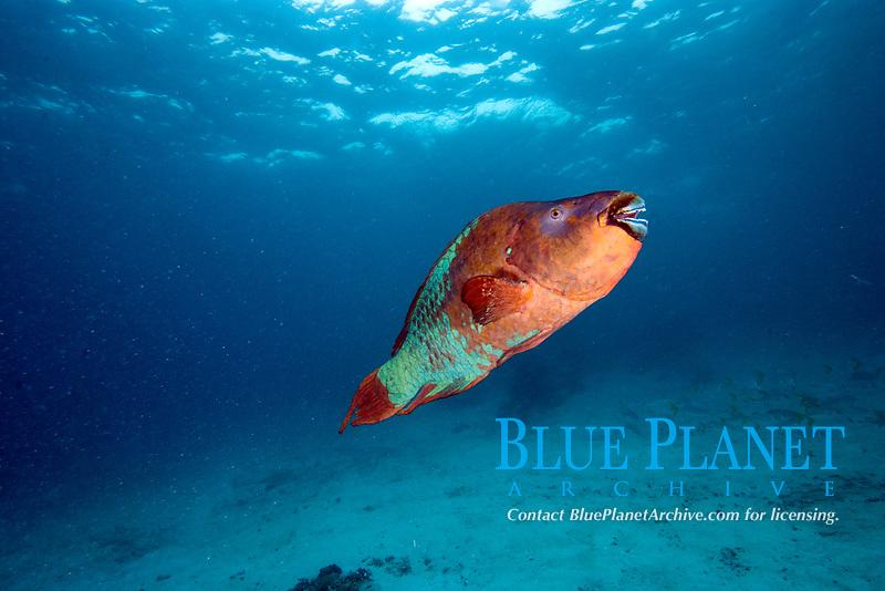 Rainbow parrotfish, scarus guacamaia, grows to 5.5 ft