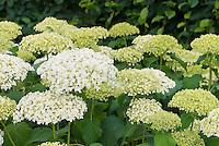 Hydrangea arboresens 'Annabelle' in summer flower