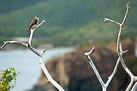 Killi Killi bird (Sparrow Hawk) along the Tektite  Trail<br /> St John<br /> US Virgin Islands
