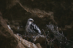 A Golden Eagle chick sits on its nest in Wyoming.