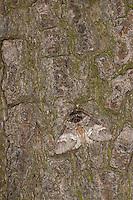 Ungefleckter Zahnspinner, Tarnung auf Rinde, Drymonia dodonaea, Drymonia trimaculata, Marbled Brown, Zahnspinner, Notodontidae, prominents