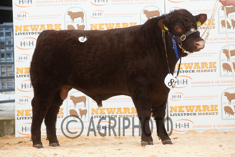 English Premier Show & Sale March 2019 <br /> Newark Livestock Market. Lincoln Red Show & Sale<br /> Lot 83 St Fort Wetherby owned by A Mylius and Partners O St Fort sold for 4100gns<br /> ©Tim Scrivener Photographer 07850 303986<br />      ....Covering Agriculture In The UK....