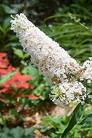 Buddleia davidii 'White Profusion' aka Buddleja in white flowers