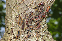 Gypsy Moth (Lymantria dispar) pupae in various stages of transition cover part of an oak tree.