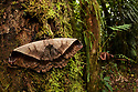 Silk Moth (Arsenura rebeli) female in cloud forest, Manu Biosphere Reserve, Peru. November.