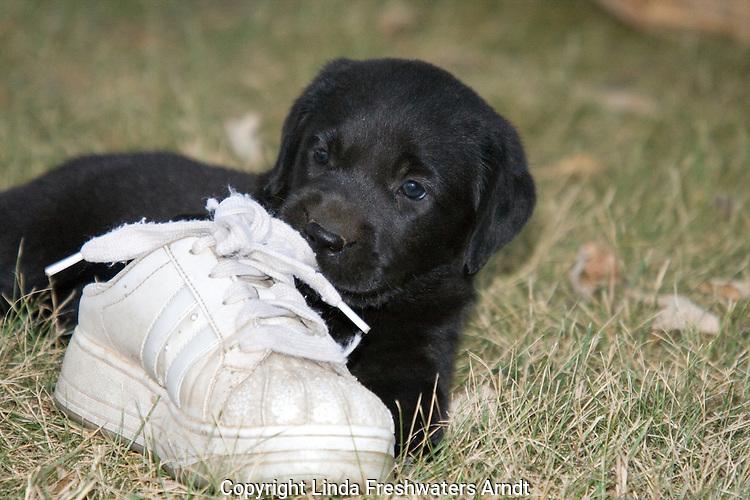 Black Labrador retriever puppy chewing on a tennis shoe
