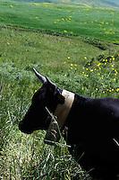 Kuh auf Sizilien, Italien