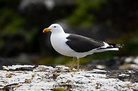 Kelp Gull (Larus dominicanus dominicanus), adult in breeding plumage resting on Enderby Island in the Aukland Islands, New Zealand.
