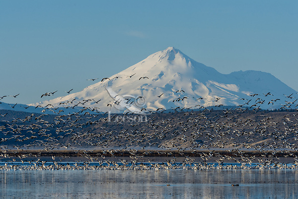 Mount Shasta with snow geese rising off wetland pond during late winter/early spring migration.  Lower Klamath National Wildlife Refuge, California-Oregon border.  Early morning.
