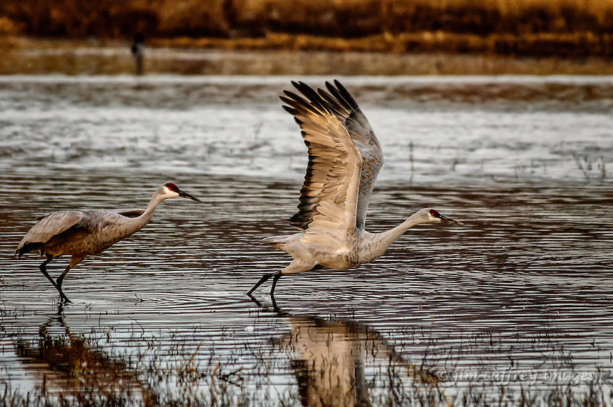 Two sandhill cranes taking wing at Bosque del Apache National Wildlife Refuge in southern New Mexico.