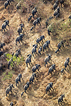 Central Africa aerial, African bush elephants (Loxodonta africana)<br /> <br /> Canon EOS-1D X, EF100-400mm f/4.5-5.6L IS II USM lens, f/5.6 for 1/3200 second, ISO 1000