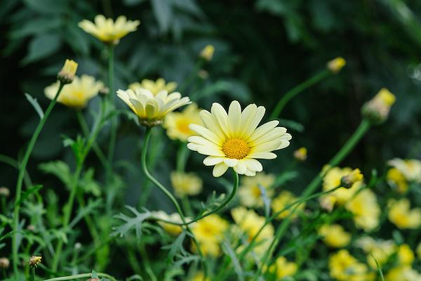 Argyranthemum 'Jamaica Primrose'
