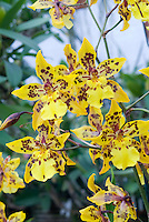 Orchids Odontocidium Tiger Crow 'Golden Girl', HCC/AOS in yellow and red marked flowers