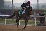 DUBAI,UNITED ARAB EMIRATES-MARCH 23: Highland Reel,trained by Aidan O'Brien,exercises in preparation for the Dubai Sheema Classic at Meydan Racecourse on March 23,2017 in Dubai,United Arab Emirates (Photo by Kaz Ishida/Eclipse Sportswire/Getty Images)