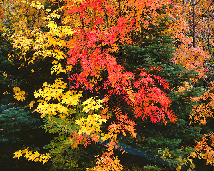 Fall color along the Kancamagus Highway; White Mountain National Forest, NH