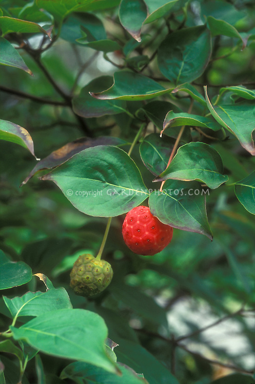 Cornus kousa in autumn fruit Korean dogwood berries