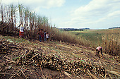 Pernambuco State, North-East Brazil. Sugar cane workers at harvest time. Bundles of sugar cane in the foreground.