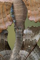 Pappelschwärmer, Paarung, Kopulation, Kopula, Pappel-Schwärmer, Laothoe populi, Sphinx populi, Poplar Hawk-moth, Poplar Hawkmoth, pairing, copula, Le sphinx du peuplier, Schwärmer, Sphingidae, Hawkmoths, hawk moths, sphinx moths