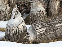 These cottonwood stumps show evidence of beaver activity.