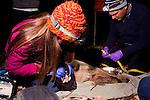 Mountain Lion (Puma concolor) biologist, Justine Alyssa Smith, checking teeth of sub-adult male while biologist, Chris Wilmers, measures girth of satellite collar, Santa Cruz Puma Project, Santa Cruz, Monterey Bay, California