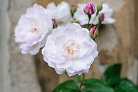 Rosa 'Apple Blossom'