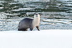 North American river otter (Lontra canadiensis)(formely Lutra canadiensis) on the frozen river edge. Upper Yellowstone River, Hayden Valley, Yellowstone, USA. January