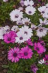 Trailing African Daisy or Freeway Daisy, Osteospermum Asti White and Asti Purple