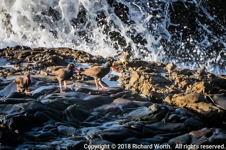 Three Black oystercatchers on the rocky shoreline, their bright  red bills and yellow eyes standing out while their bodies blend in.  To their right are three Least sandpipers.  All six unfazed by the crashing waves along the Northern Claifornia coast.