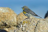 """Audubon's"" Yellow-rumped Warbler (Setophaga coronata) in basic plumage foraging on coastal rocks. Monterey COunty, California. December."