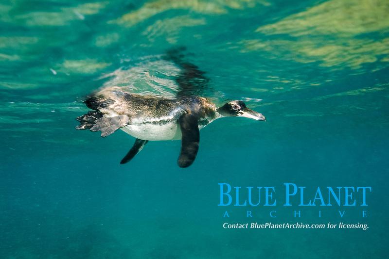 Galapagos penguin, Spheniscus mendiculus, Pacific Ocean, Ecuador, Galapagos, A Galapagos penguin hunting underwater. Bird