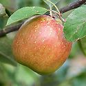"""Apple 'Tun Apple', mid September. """"A very old Essex dessert apple, with little known history, first sent to the RHS in 1927. It has a quite distinct, tall, conical shape and green skin, heavily flushed red, with some russeting. The flesh is firm, sweet and juicy. It can be stored until December.""""  (Burnwode Fruit Trees)"""