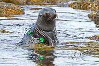 Antarctic fur seal, Arctocephalus gazella, pup, entangled with fishing net on South Georgia, South Atlantic Ocean